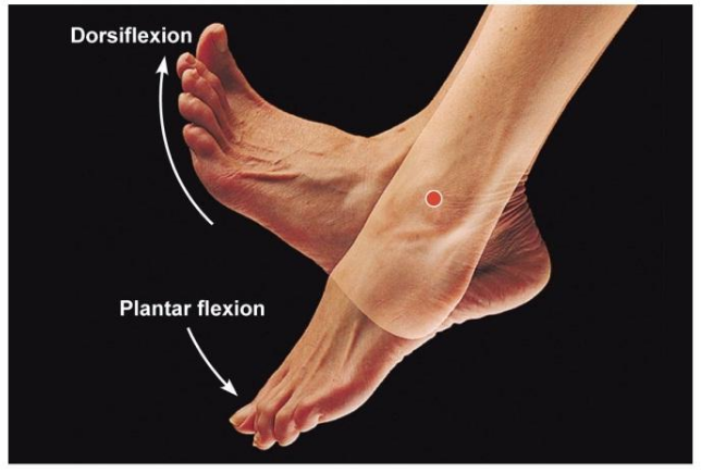 Dorsiflexion Positioning of the Foot