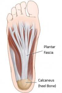 plantar-fascia